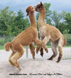 Alpaca Sunrise Farm is a full-service Alpaca farm since 1998 • Alpaca sales • breeding • boarding • Alpaca raw fiber, yarn, roving sales for knitters, crocheters, weavers and fiber artists. www.AlpacaSunrise.com #alpaca #alpacas Llama Pictures, Cute Animal Pictures, Cute Baby Animals, Farm Animals, Lama Animal, Sunrise Farm, Lamas, Llama Llama, Giraffes