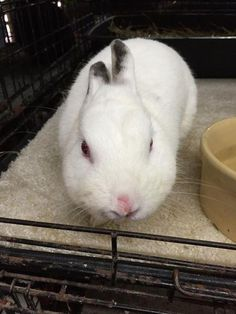 Hooray Merlin II ! #adoptdontshop #animalrescue #bunnies