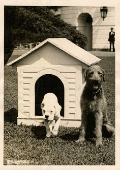"""""""Laddie Boy waiting to be introduced to Mrs. Harding's White English Bulldog 'O-Boy', on the lawn of the White House. Reference Dept., N.E.A., Aug. 19, 1921."""