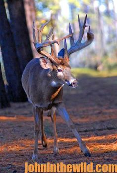 Trophy bucks expand their home range during the rut