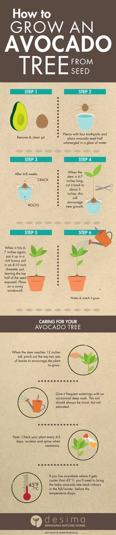 Infographic on how to grow an avocado tree from seed.