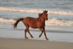 Wild horses at Carova, NC.  Wonderful place to stay Wild Horse House...23 bedrooms, pool, beach....great wedding site!!