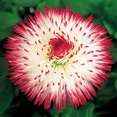 English Daisy Habanera® Red Tips. In the south, you can even grow it as a cool-season annual, thrive in climates where nights are cold and summers are mild. Plant in partial shade and moist, well-drained soil. Zones 4-8.