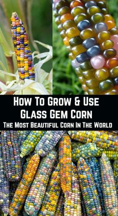 green witchcraft There are times when you find a plant that perfectly combines beauty and utility. Glass gem corn is one of the best and most stunning examples of this phenomenon. What Is Glass, Rainbow Corn, Colored Corn, Glass Gem Corn, English Garden Design, Home And Garden Store, Corn Plant, Green Witchcraft, Sunflower Garden