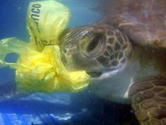 This poor Turtle mistakes plastic for a jellyfish :'( Hundreds of thousands of sea turtles, whales, and other marine mammals, and more than 1 million seabirds die each year from ocean pollution and ingestion or entanglement in marine debris. Ocean Pollution, Plastic Pollution, Ecuador, Save The Sea Turtles, Marine Debris, Scary Facts, Save Our Oceans, 4 Oceans, Marine Environment