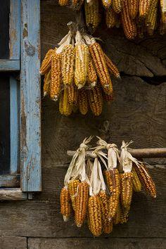 Farm Fresh Living ~ Lugnasad: Dried corn, at Primitive Fall, Autumn Aesthetic, Fall Harvest, Harvest Time, Harvest Moon, Golden Harvest, Harvest Season, Mellow Yellow, Autumn Inspiration