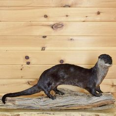 Otter Taxidermy Mount SW3277 for sale at Safariworks Taxidermy Sales