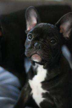 Might be a bucket list item, but I'm definitely getting a little French bulldog someday when I have the time to dedicate to the little guy.