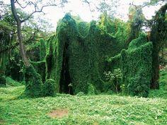 Kudzu invasion south east USA Overgrown garden