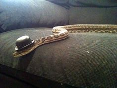 A dapper gentleman! | 11 Snakes That Look Totally Adorable In Their Halloween Costumes