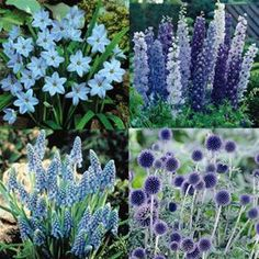 Plants for a blue garden