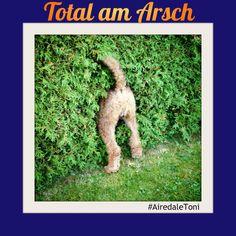 Meine Hundehighlights der letzten Woche: scheinschwangerer Rüde, Heckenzauber und Kletten an der Rosette. Langeweile? Nicht mit AiredaleToni!