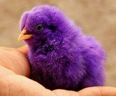 For Easter one year I got a purple chick.  Named him People Purple Eater.  It went to grandma's farm once it grew up.