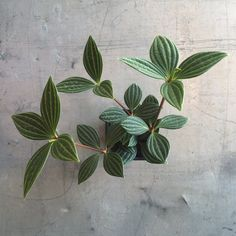 Description Caring for Peperomia puteolata: {light} indirect, bright light {water} keep soil moist, do not let it dry out {general care} pinch off new growth to