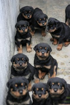 Rottweiler puppies - fiercely loyal and protective dogs - I know because I was at the receiving end of a well chosen bite from a Rottweiler that thought I was about to attack my niece, its Owner Cute Puppies, Cute Dogs, Dogs And Puppies, Doggies, Puppies Tips, Dogs 101, Chihuahua Dogs, Baby Dogs, Cute Baby Animals