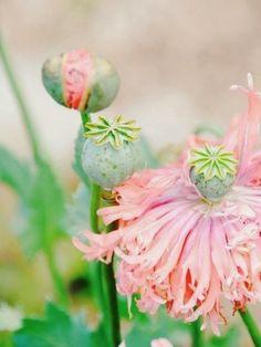 "flowersgardenlove: "" Pink poppy Beautiful gorgeous amazing """
