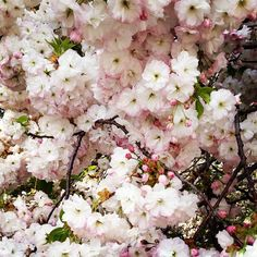 Brooklyn Botanical Garden. Must plant a beautiful cherry tree like this near the sport court.