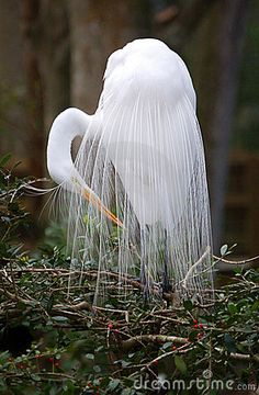 Girly Me - (via Nature - Beautiful Birds / Egret) Kinds Of Birds, All Birds, Love Birds, Pretty Birds, Beautiful Birds, Animals Beautiful, Simply Beautiful, Beautiful Things, Exotic Birds