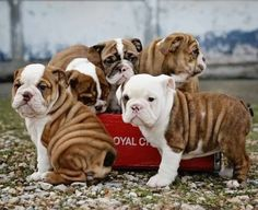 ❤ Wrinkles are beautiful! ❤  Posted on English Bulldogs With Love
