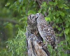 Barred Owls Making Out - Steve Creek Outdoors