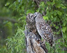 Barred owls by Steve Creek www.stevecreek.com