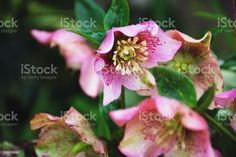 Pink Hellebore Flowers Close-Up of Beautiful Pink Hellebore Flowers. Backgrounds Stock Photo Flower Close Up, Video Pink, Video Image, Flower Photos, Photo Illustration, Image Now, Background Images, Royalty Free Images, Backgrounds
