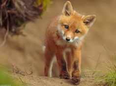 Red Fox Cub by Robert Dreeszen - National Geographic Your Shot