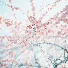 Prunus mume form. pendula* by kero*, via Flickr