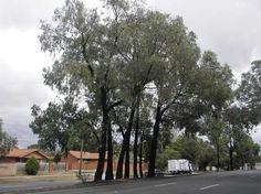 eucalyptus: March 2007