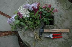 Lilac pruning - Just cut really big bouquets! Before putting the stems in water, crush the ends with a hammer on a stone or other hard surface outside so that they can drink enough to keep the large flowerheads from wilting