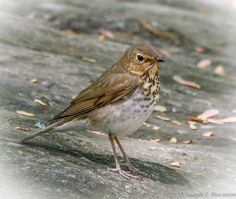 Hermit Thrush - The Gill, The Ramble, Central Park, New York
