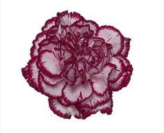 Olympia carnation