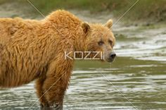 wet bear - A wet brown bear standing in water, drooling