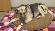 Family's senior German shepherd found buried alive. Thank God, he was rescued in time!!! <3