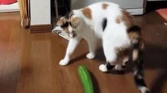 cats scared of cucumbers - YouTube