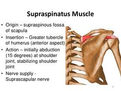 supraspinatus origin and insertion - Google Search