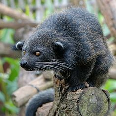 Binturongs, sometimes known as bearcats, are members of the family Viverridae, which also includes civets and genets.
