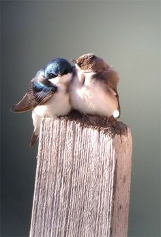 2013 Great Backyard Bird Count  Fourth Place: Behavior - Tree Swallows by Shauna Cotrell, Florida