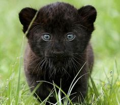 I ❤ baby big cats . . . A young black panther prowled in the grass at Tierpark Zoo in Berlin Tuesday. Female black panther cubs named Larisa and Sipura were born on April 26. (Maya Hitij/Associated Press)