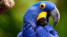 Nlue macaw