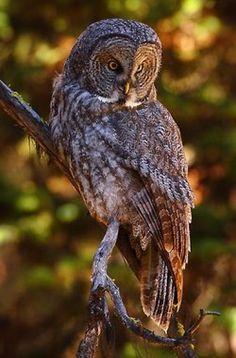 Great Gray Owl by Doug Dance Nature Photography Owl Photos, Owl Pictures, Beautiful Owl, Animals Beautiful, Strix Nebulosa, Nocturnal Birds, Photo Animaliere, Great Grey Owl, Owl Bird