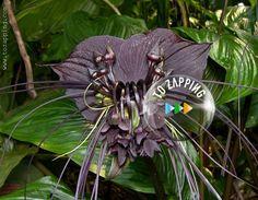Cómo cultivar la flor murciélago