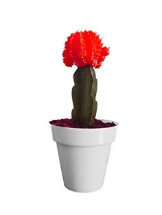 Moon Cactus Plant online order in Hyderabad India for birthday gifts Send Chocolates, Online Cake