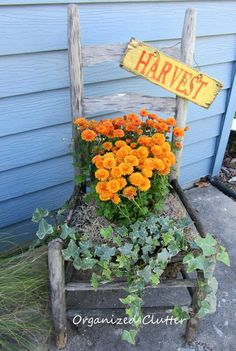 orange rusty colored mums and an ivy in a weathered gray chair