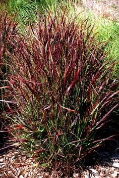 Panicum virgatum 'Shenandoah' switchgrass