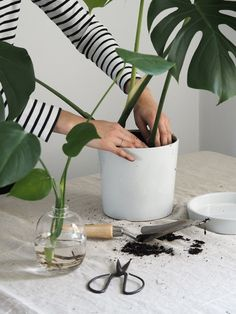 Propagating a monstera plant couldn't be easier – these resilient tropical plants with their broad, heart-shaped leaves just keep on giving Indoor Tropical Plants, Potted Plants, Garden Plants, Garden Sofa, Hanging Plants, Monstera Deliciosa, Swiss Cheese Plant, Terracotta Plant Pots, String Garden