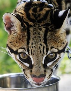 I want one!!! Gorgeous Ocelot favorite-animals