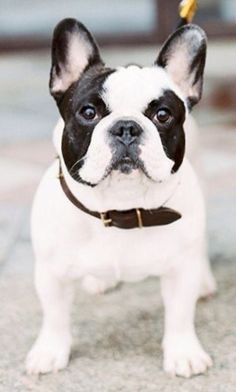 Black and White Pied French Bulldog.