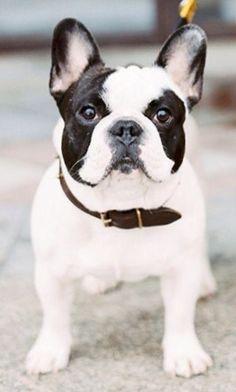 Black and White Pied French Bulldog.