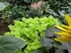 my new favorite - heuchera (alunrod) lime marmalade. Was green all winter and it really brights up a dark corner